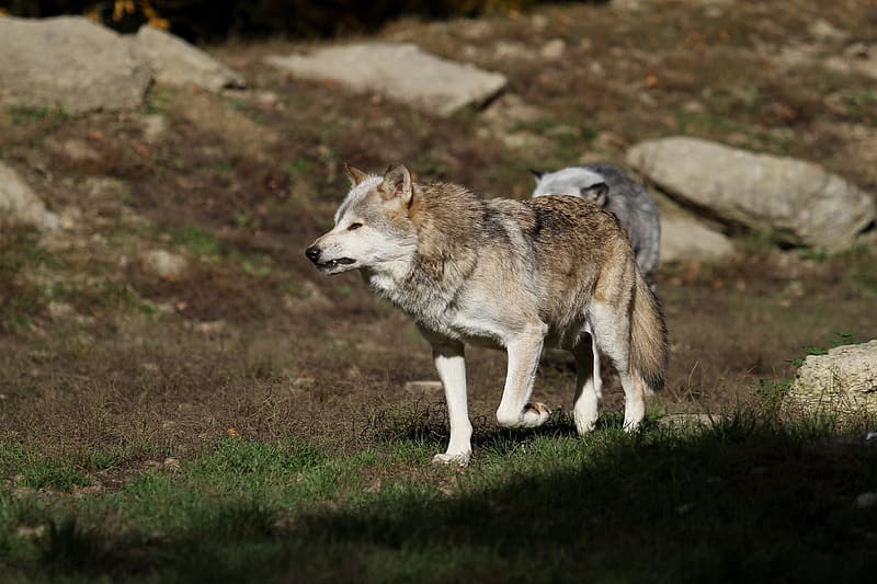 Brown and white wolf on ground