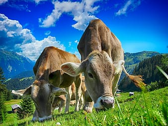 Low angle photography of two brown cows under blue sky and white clouds