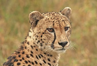 Side view photography of cheetah