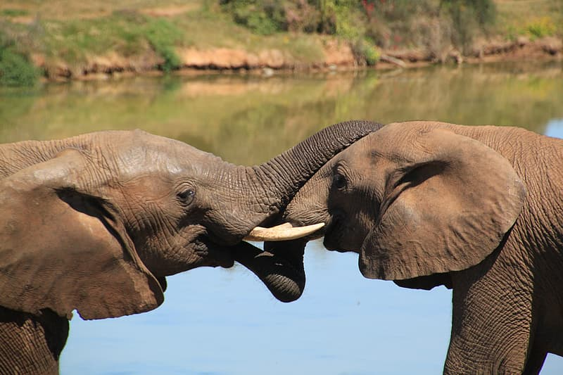 Two elephant mating in front of water