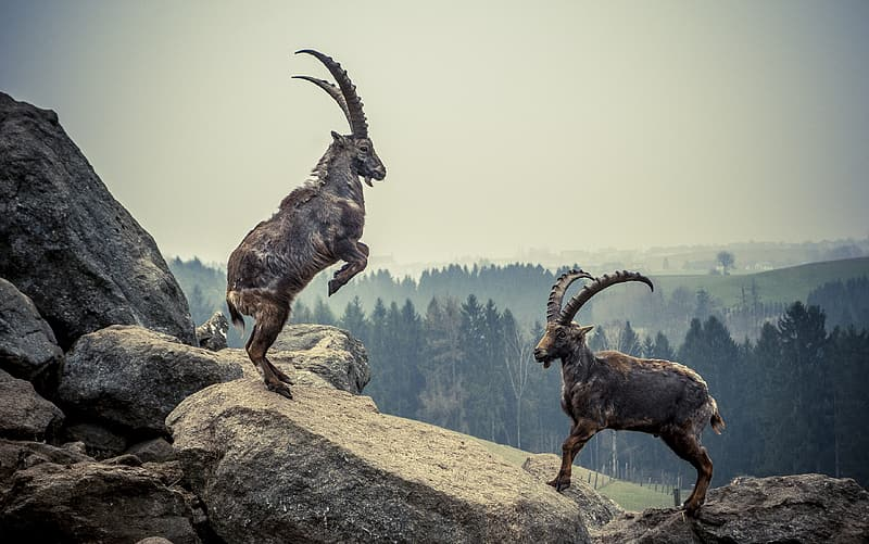 Two brown goats