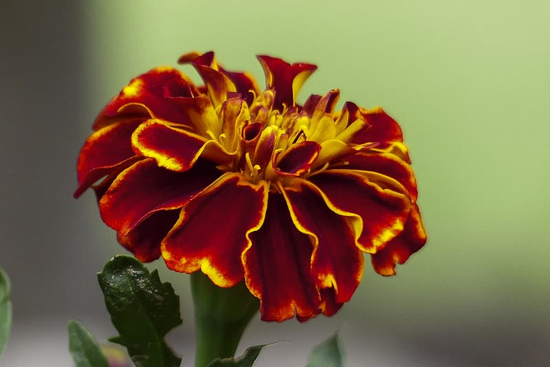 Close-up photo of red marigold flower | Pikrepo