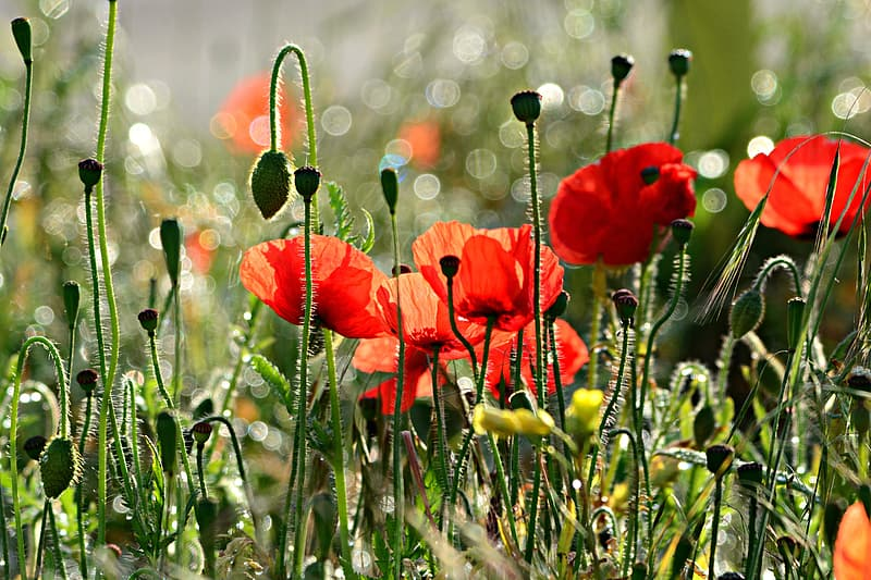 Red poppy flowers in bloom during daytime