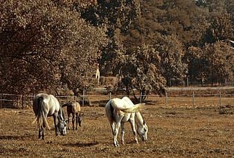 White horses eating grass during daytime