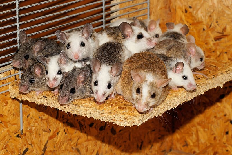 Brow, black, and white mice