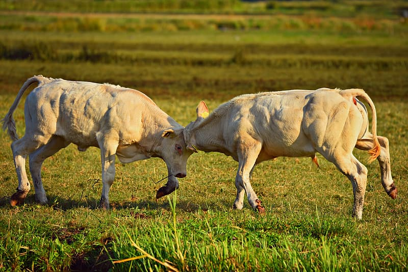 White cow on green grass field during daytime