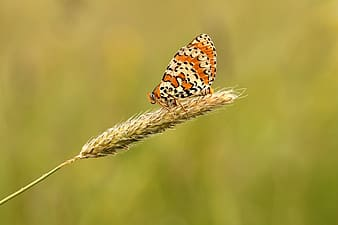 Selective focus photography of orange and white butterfly perched on wheat