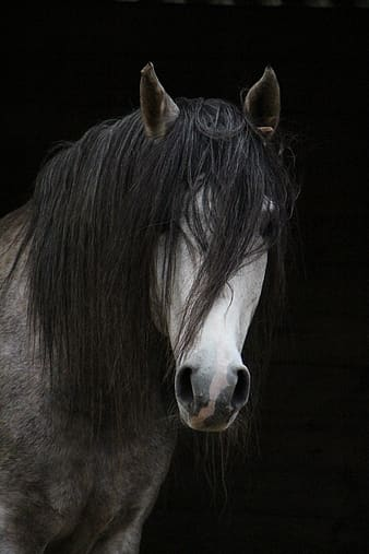 Black haired white horse