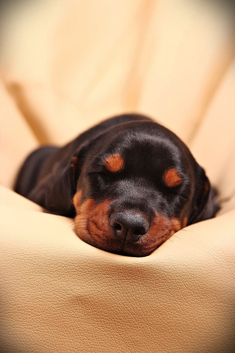 Black and mahogany Rottweiler puppy