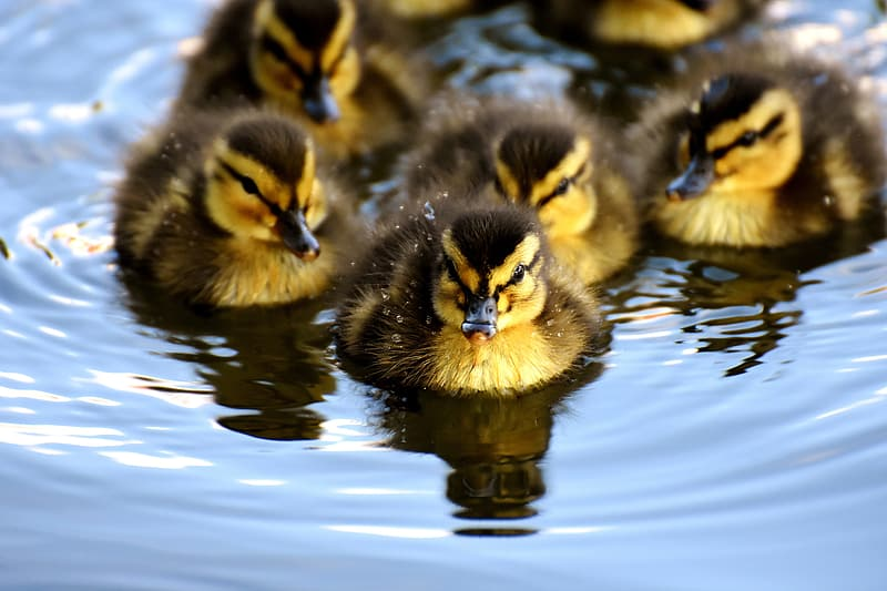 Yellow-and-black ducklings on body of water during daytime
