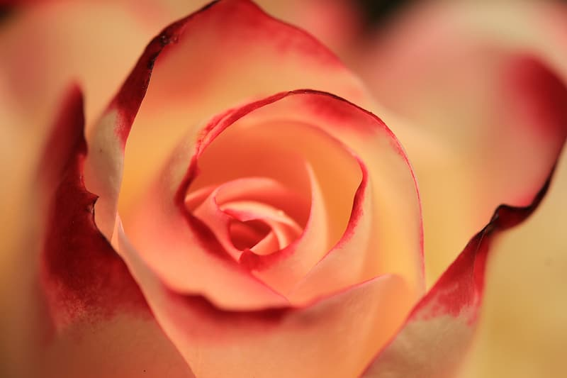 Pink rose flower in close up photography