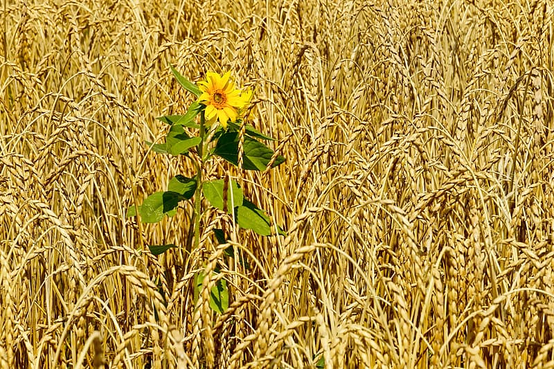 Photo of yellow sunflower surrounded by grains