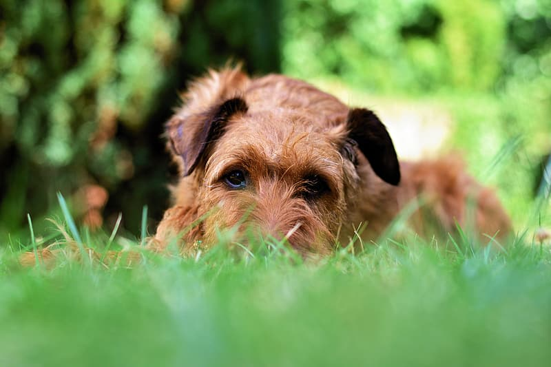 Brown long coat small dog lying on green grass field during daytime