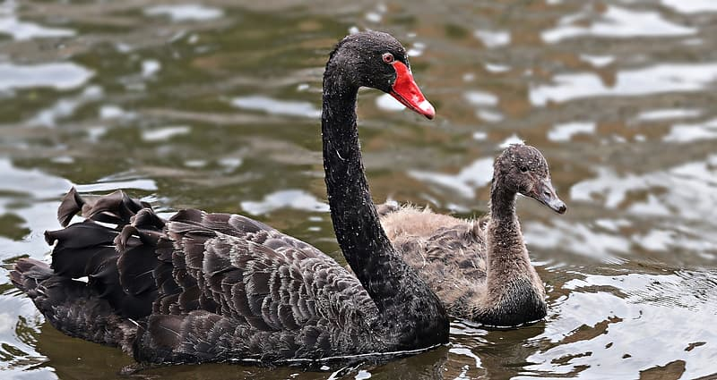 Two black swans in the water during daytime