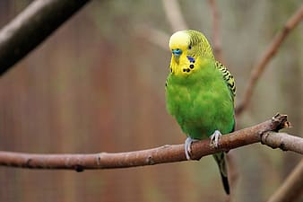 Selective focus photo of green and yellow budgerigar