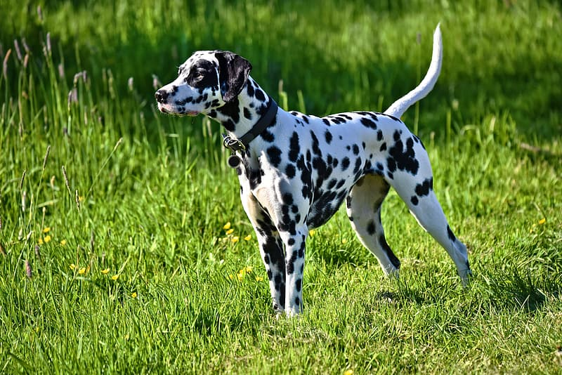 Adult black and white Dalmatian on grass field