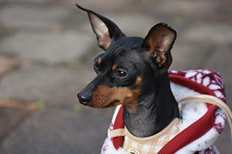 Black and tan miniature pinscher wearing red and white scarf