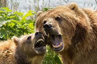 Two brown bears roaring near green trees during daytime