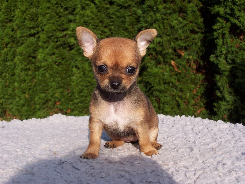 Brown and black Chihuahua puppy