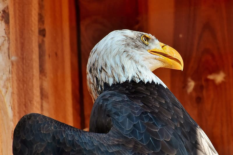 Black and white eagle in close up photography during daytime