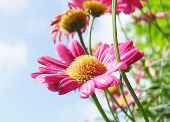 Pink daisies in closeup photography