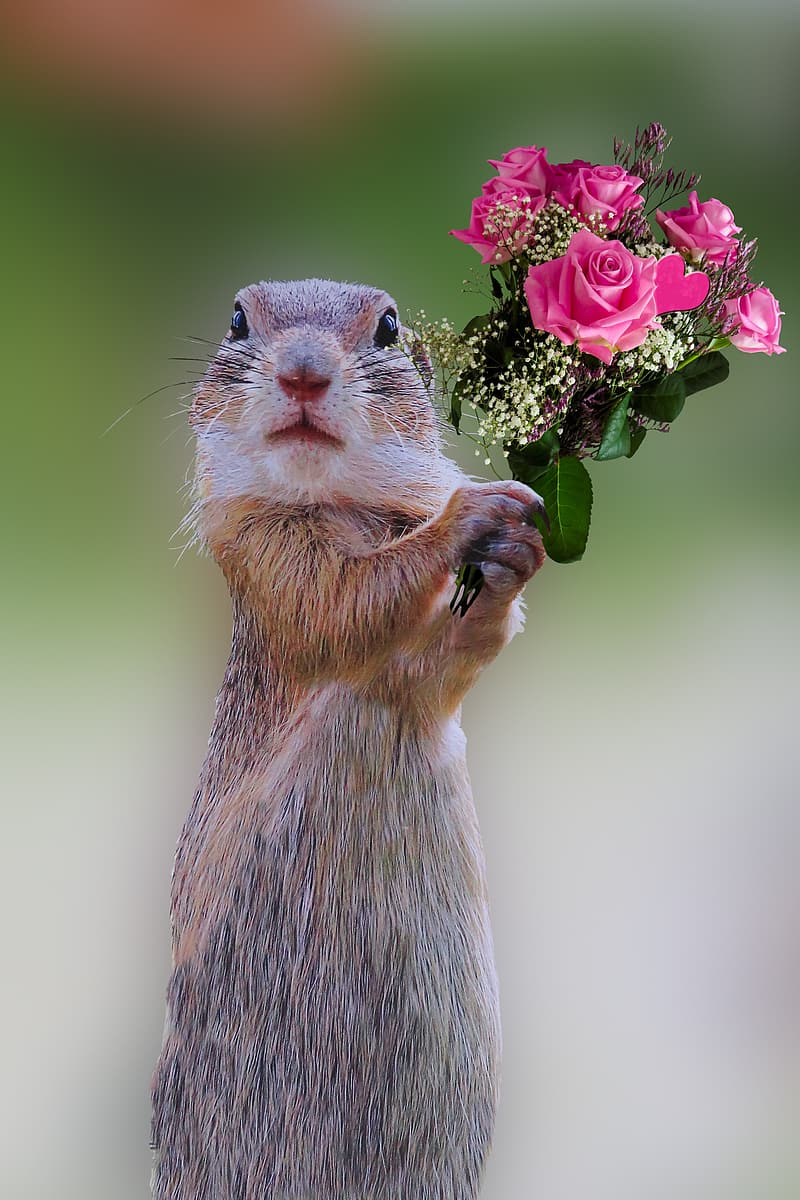 Squirrel holding pink roses