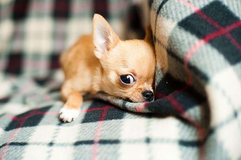 Brown Chihuahua puppy laying down on sofa