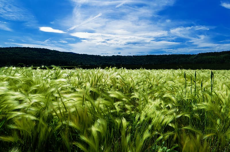 Green wheat field under blue sky during daytime