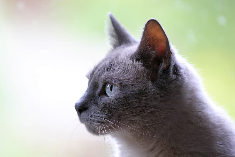 Russian blue cat in macro photography