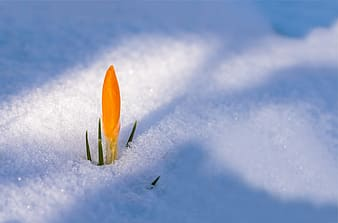 Shallow focus photography of yellow petal flower on covered with snow field