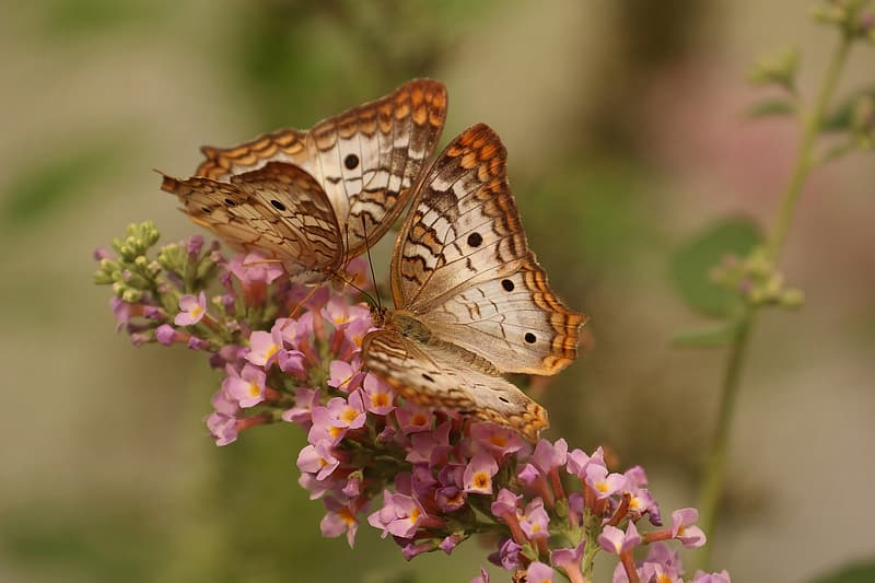 Two brown-and-gray butterflies on pink flowers