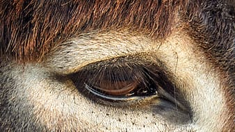 Brown and white animal eye