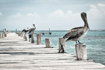 Pelican perched on wooden dock during daytime