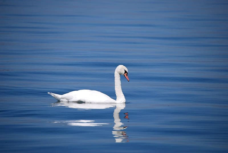 White swan swimming on body of water