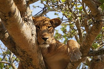 Brown lioness on brown tree branch during daytime