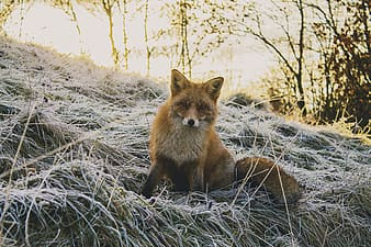 Fox on grass field during daytime
