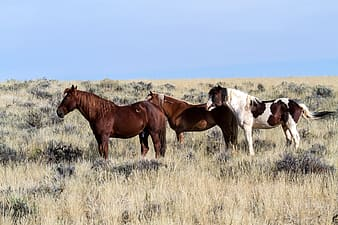 Three brown and white horses standing on brown grass at daytime