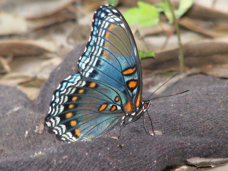 Brown, blue, and black butterfly