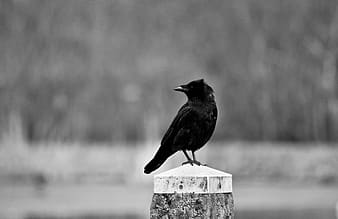 Selective photo of raven bird perch on tree trunk