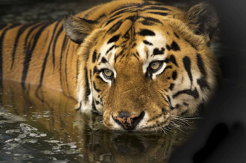 Selective focus photography of tiger on body of water