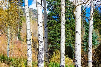 White tree trunks