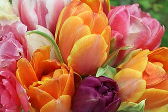 Orange and pink tulips in bloom during daytime
