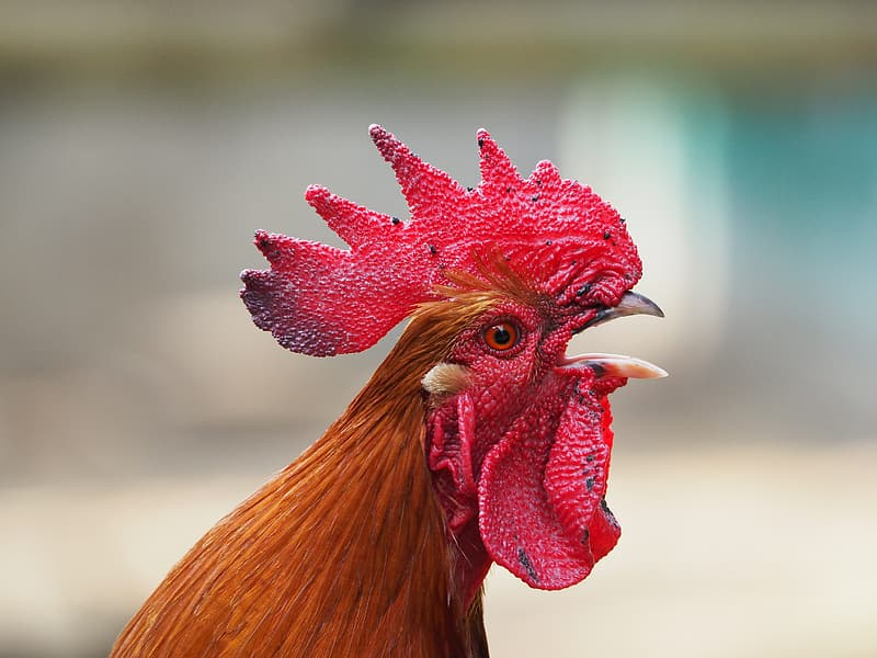 Selective focus photography of brown rooster