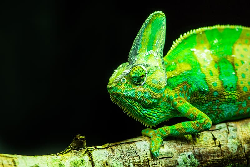 Close-up of green chameleon on branch