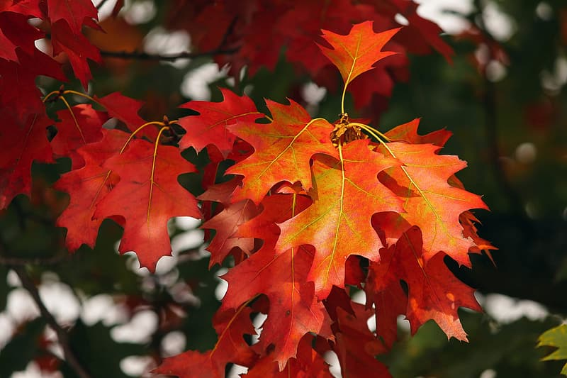 Red and yellow maple leaf