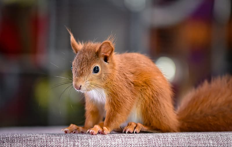 Brown squirrel on brown wooden table