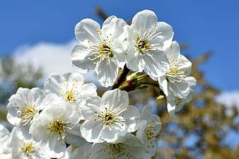 Closeup photography of white flowering tree in bloom