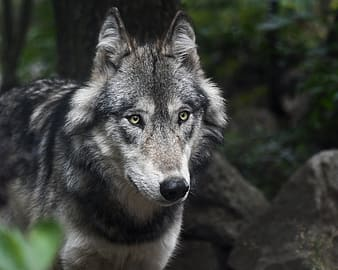 Gray and black wolf beside tree