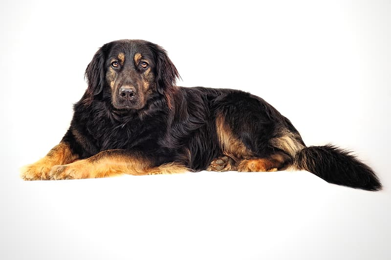 Adult black and brown Rottweiler