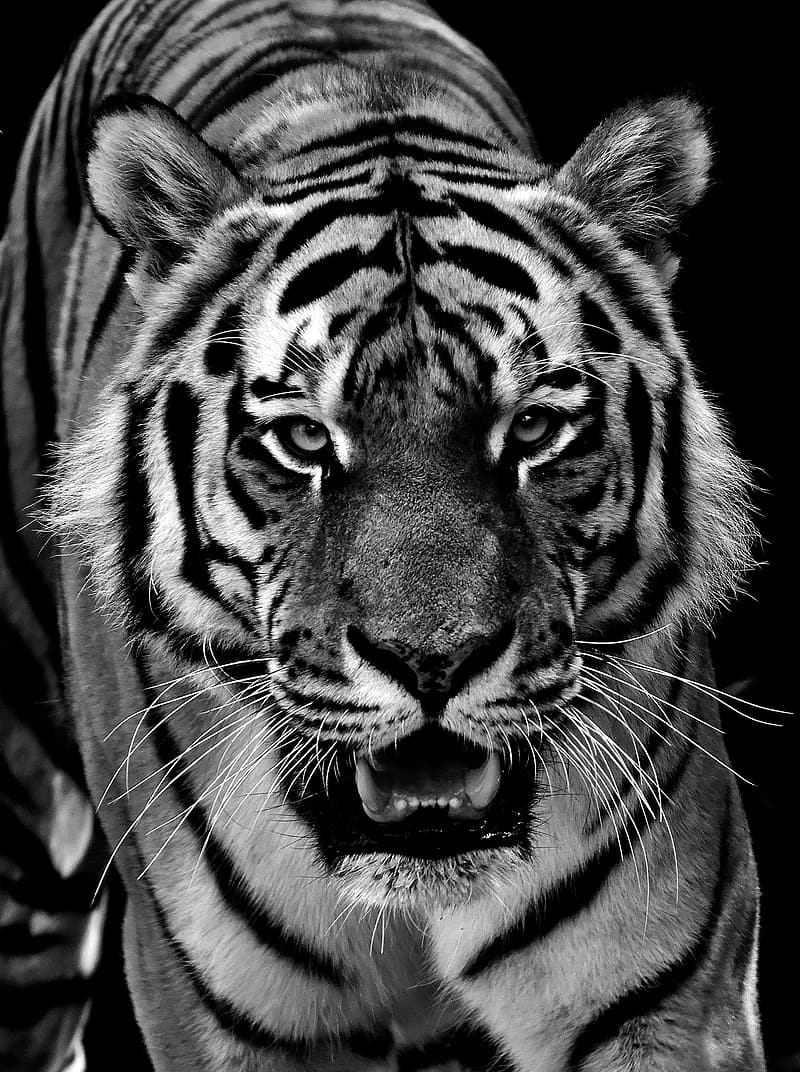 Grayscale photo of bengal tiger